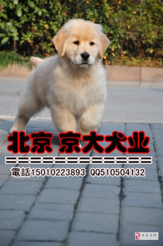大头金毛犬?#26412;?#24066;三个月金毛幼犬出售