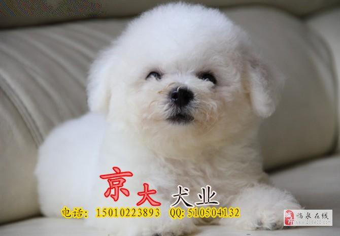 赛级比熊犬纯种法?#24403;?#29066;幼犬出售比熊犬舍