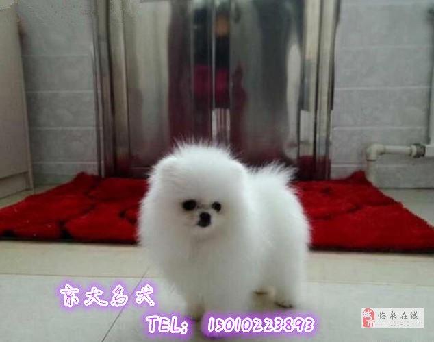 赛级博美犬球体纯种博美幼犬出售北京市博美犬舍