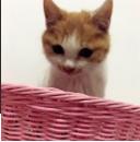 小貓一只,6個月大,白色加橘背點綴。贈送