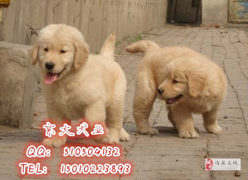 純種金毛犬北京市金毛價格金毛犬舍