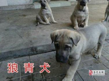 出售狼青幼犬
