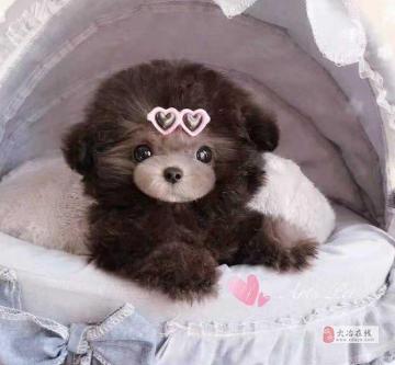 纯种玩具型茶杯贵宾犬小体苹果脸泰迪宝宝颜色齐全