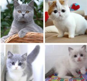 黄石养殖场出售各种高品质幼猫包纯种健康可送货