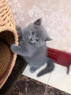 出售纯血统大脸蓝猫