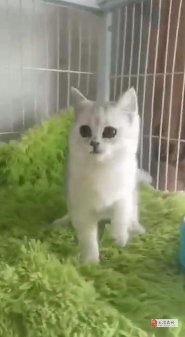 出售银渐层短毛猫