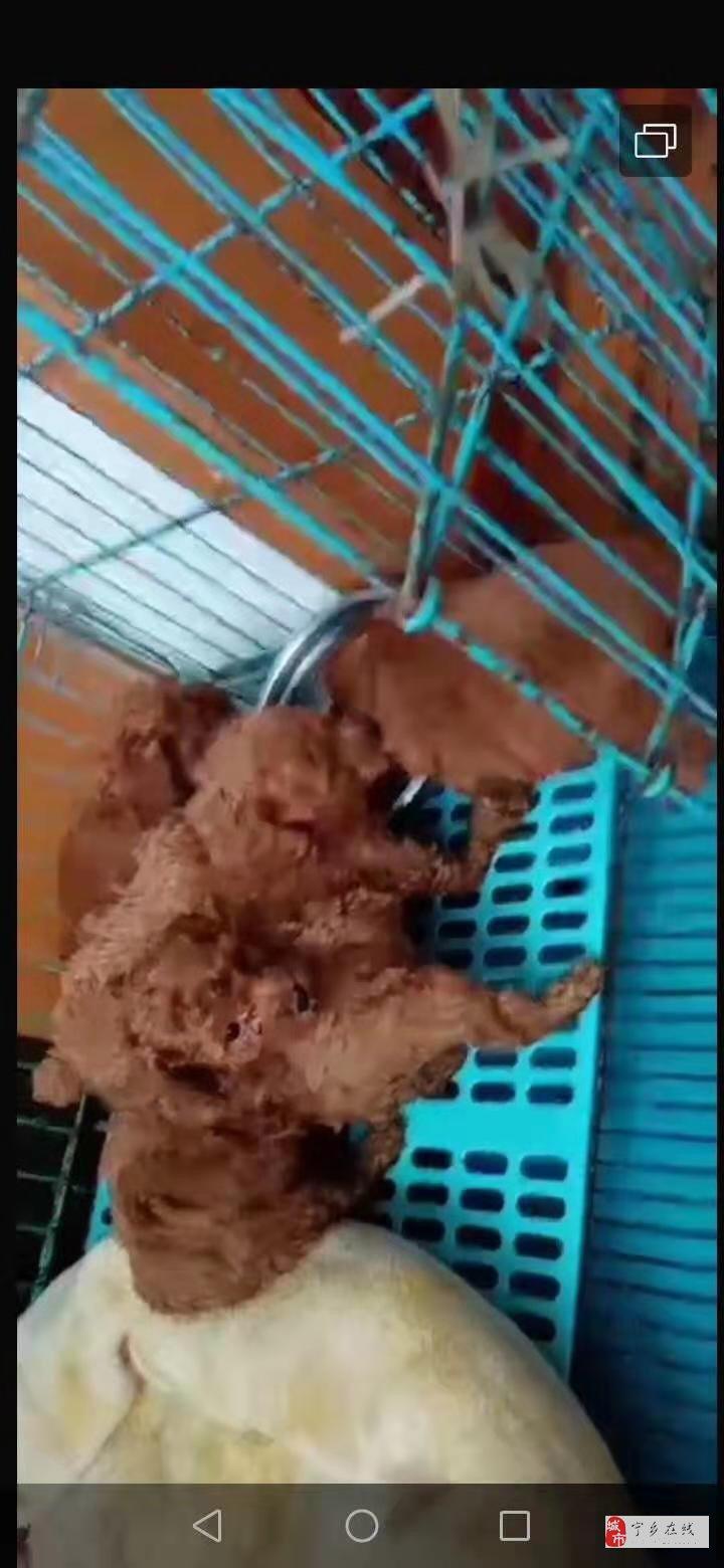 家养棕红色小泰迪出售