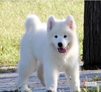 犬舍出售高品质幼犬萨摩耶纯种健康疫苗驱虫已做