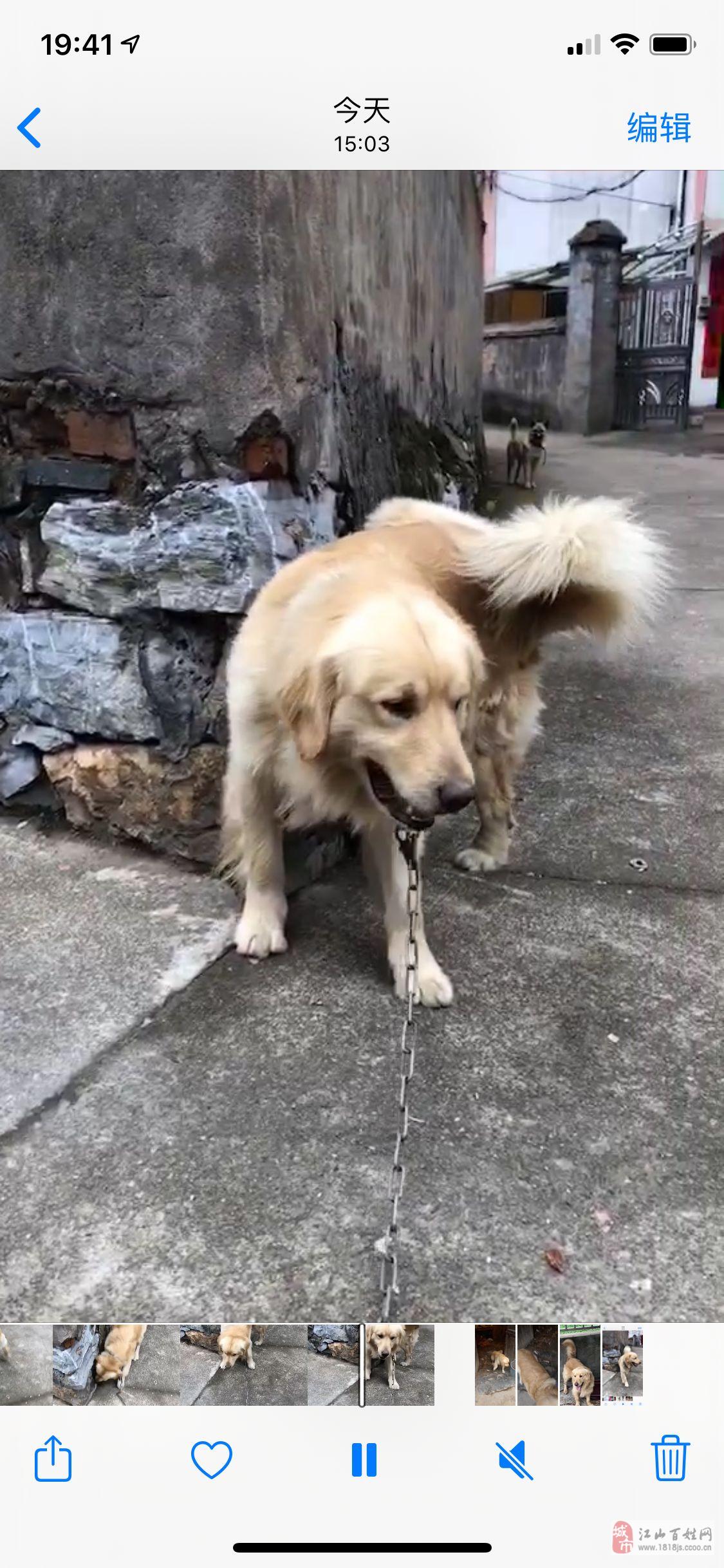金毛一歲多公狗
