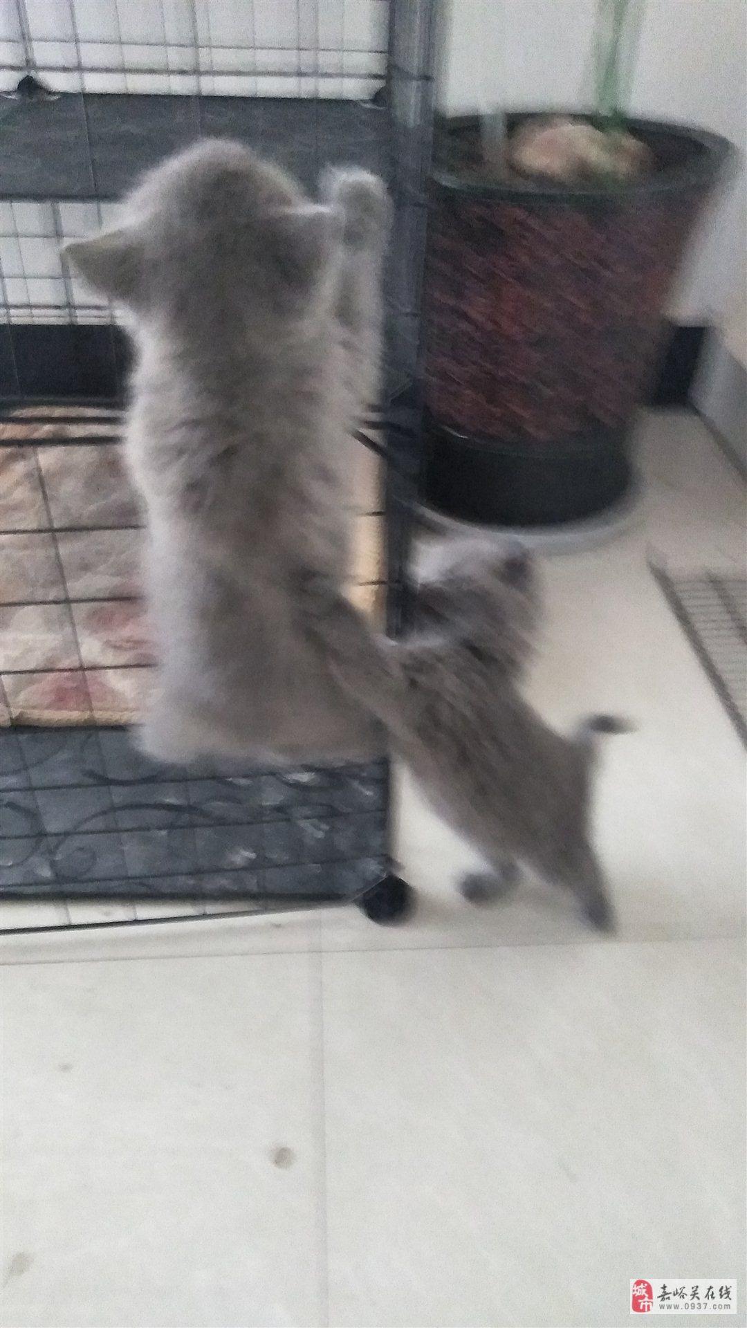 蓝猫妹妹两只
