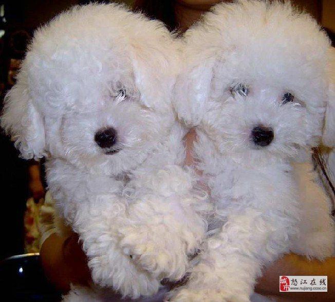 怒江买狗怒江买小型犬比熊云南狗场出售小比熊