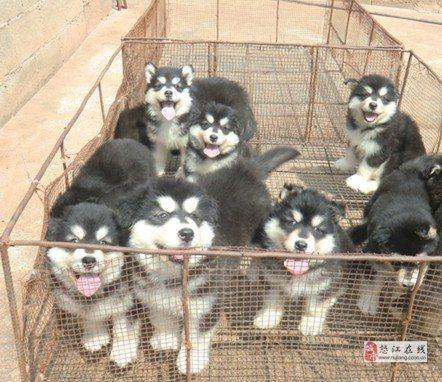 怒江买阿拉斯加云南狗场优价出售阿拉斯加
