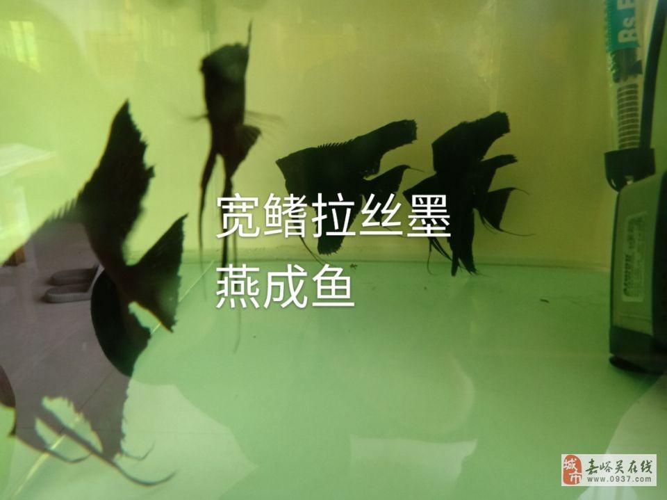 长期出售墨燕鱼苗、成鱼
