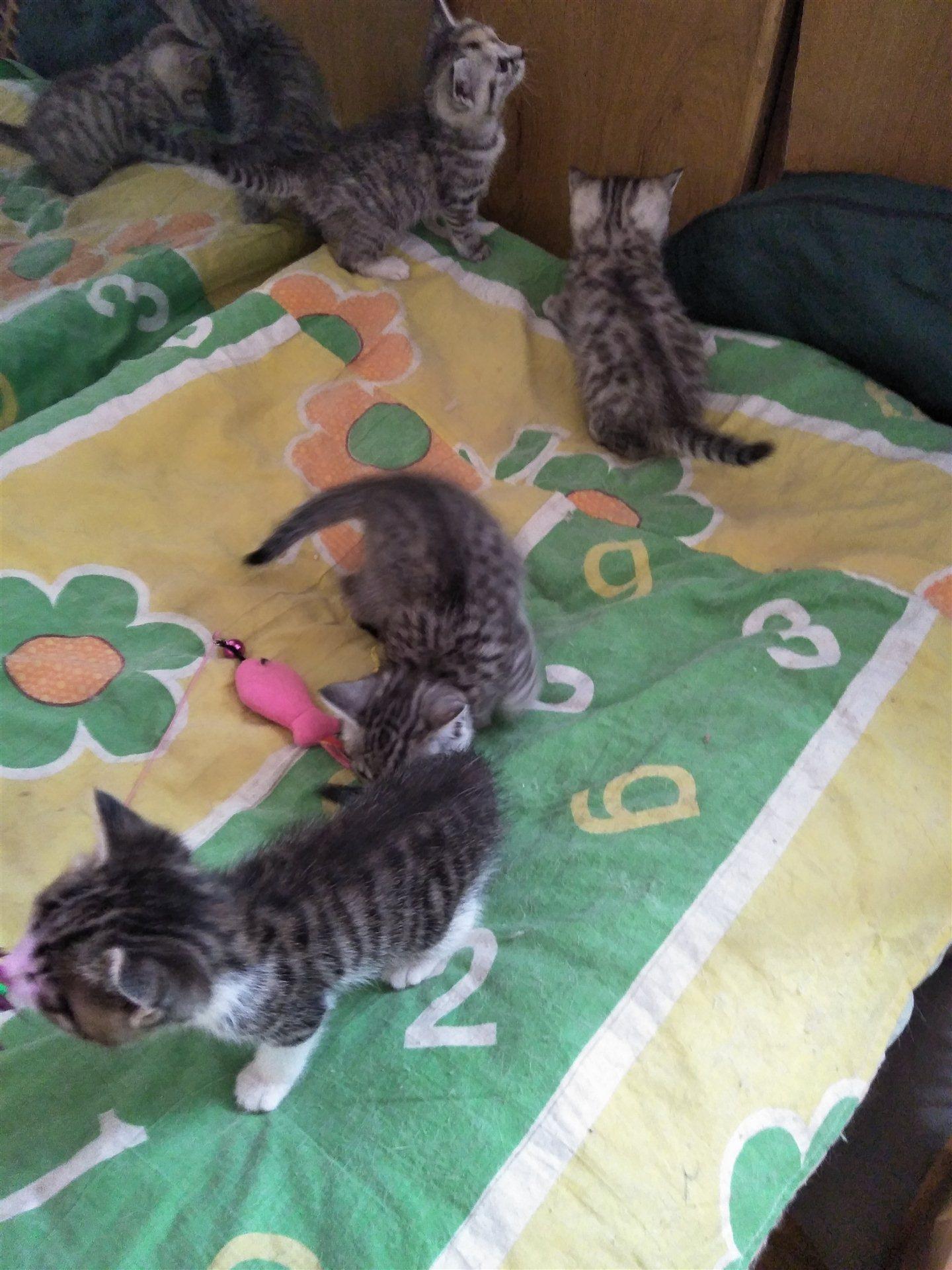 家有爱宠美国短毛猫