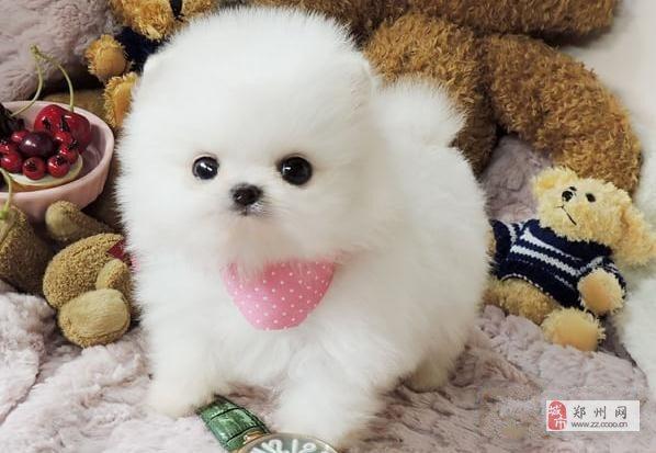 茶杯犬狗狗博美出售,郑州本地博美犬宠物狗狗