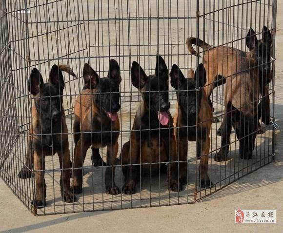 美高梅国际买狗美高梅国际买马犬美高梅国际名犬市场买狗