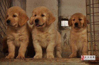 美高梅国际买金毛云南狗场常年繁殖出售金毛小狗