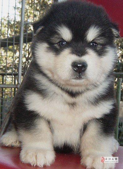 美高梅国际买狗美高梅国际买阿拉斯加来云南本地狗场选购