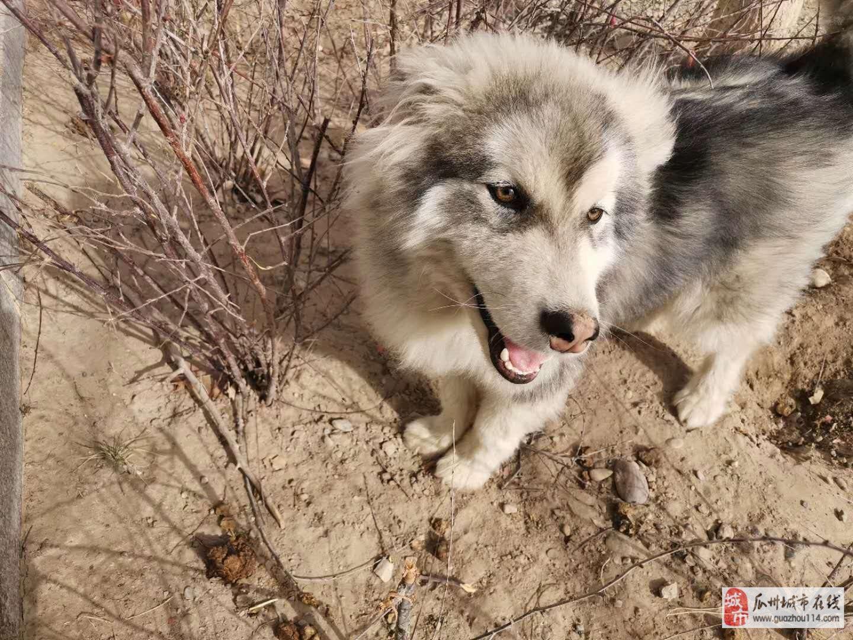 现有8个月大的阿拉斯加犬出售
