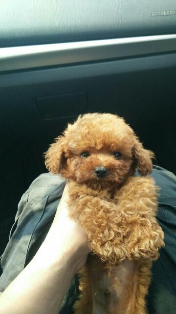 茶杯泰迪幼犬