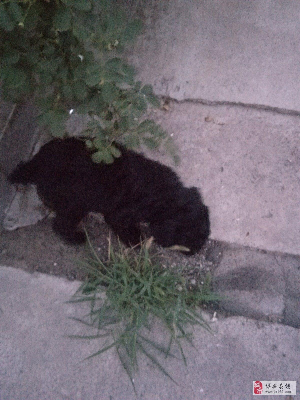出售2個月黑色泰迪一只