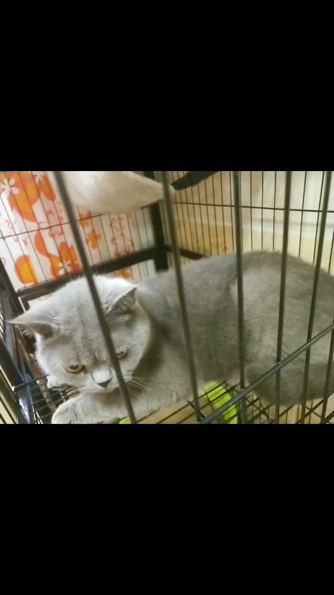 出售英国短毛猫咪