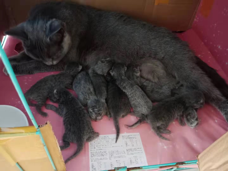 自家养的蓝猫,种猫,要的赶紧预定哈