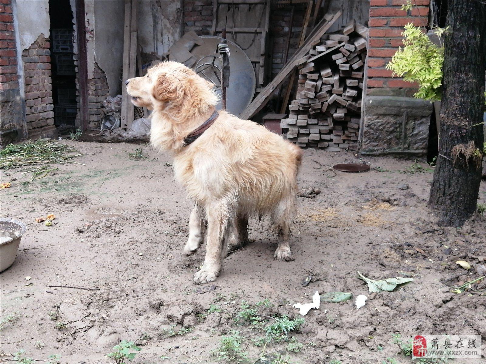 3歲純種金毛,現寄養在農村。