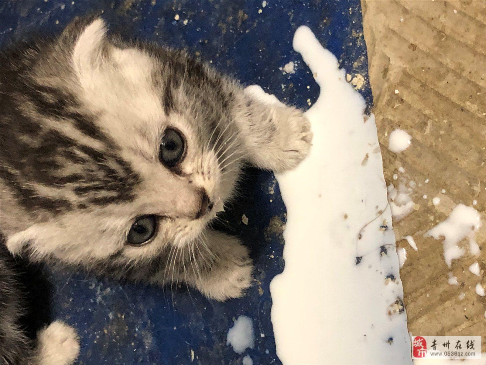 折耳猫,自家三个月小猫健康,600出