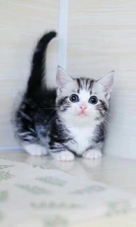 貓舍出售 精品~矮腳貓~布偶貓