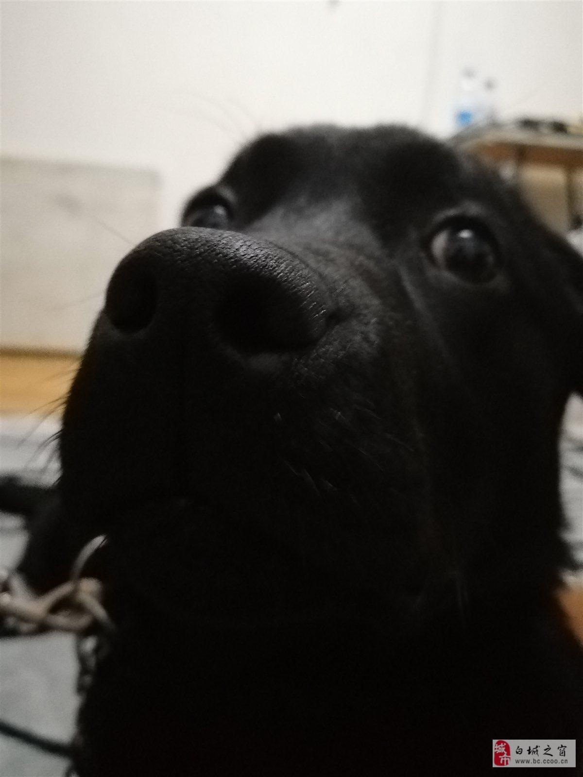 急出純種黑色拉布拉多母犬