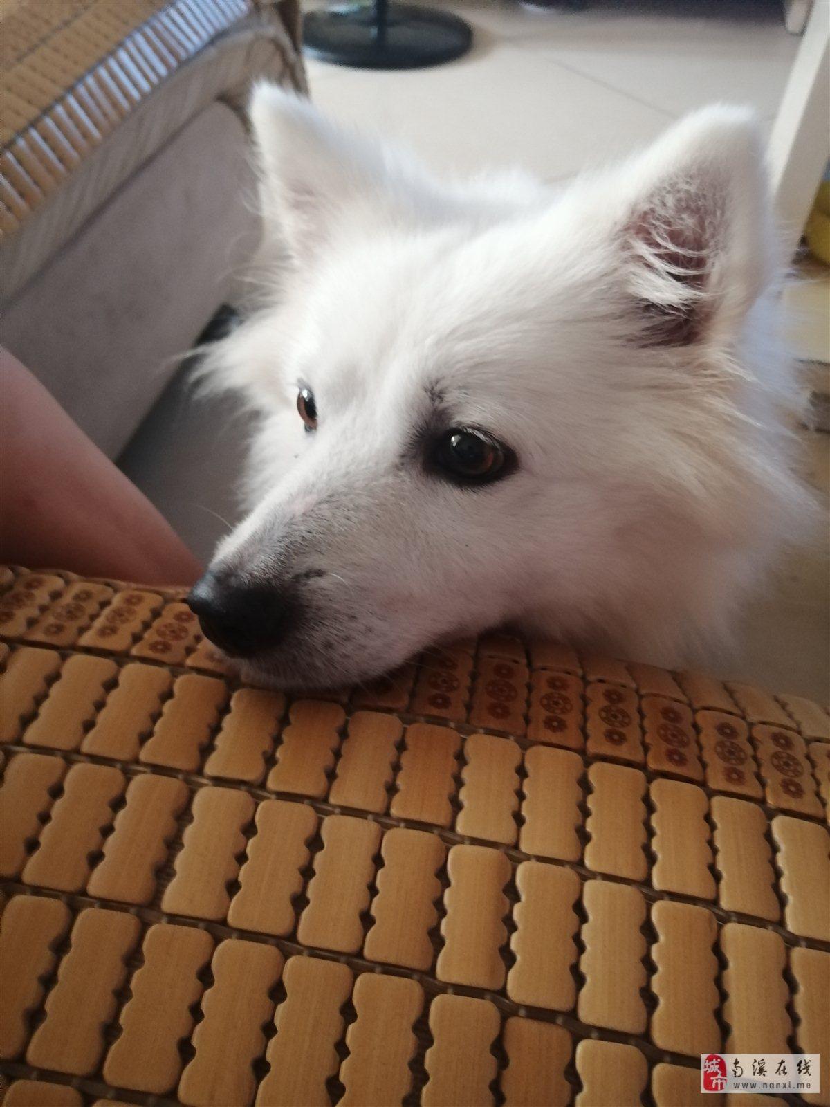 四个月萨摩耶狗狗