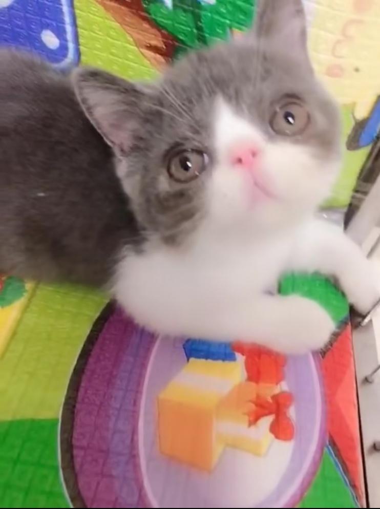 蓝白加菲猫