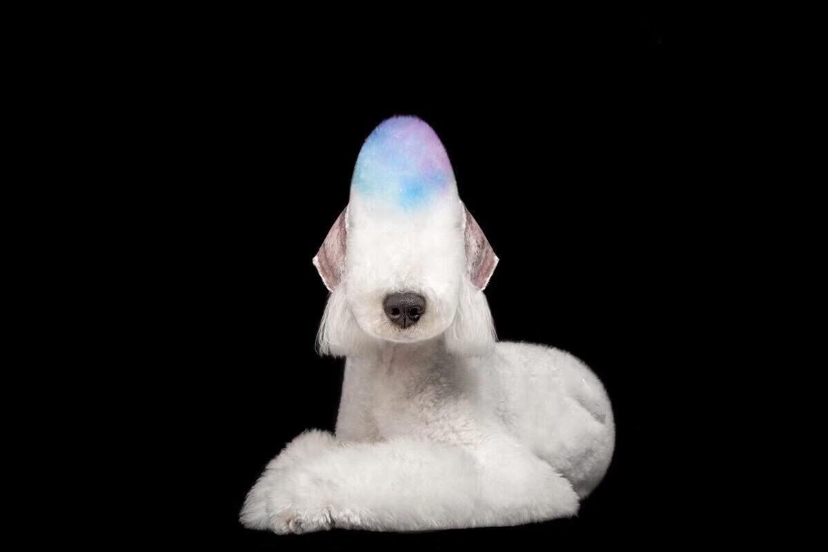 贝灵顿幼犬