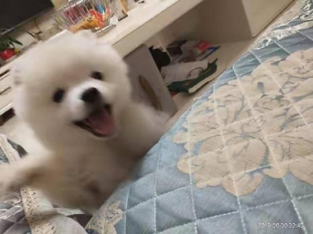 博美狗狗出售