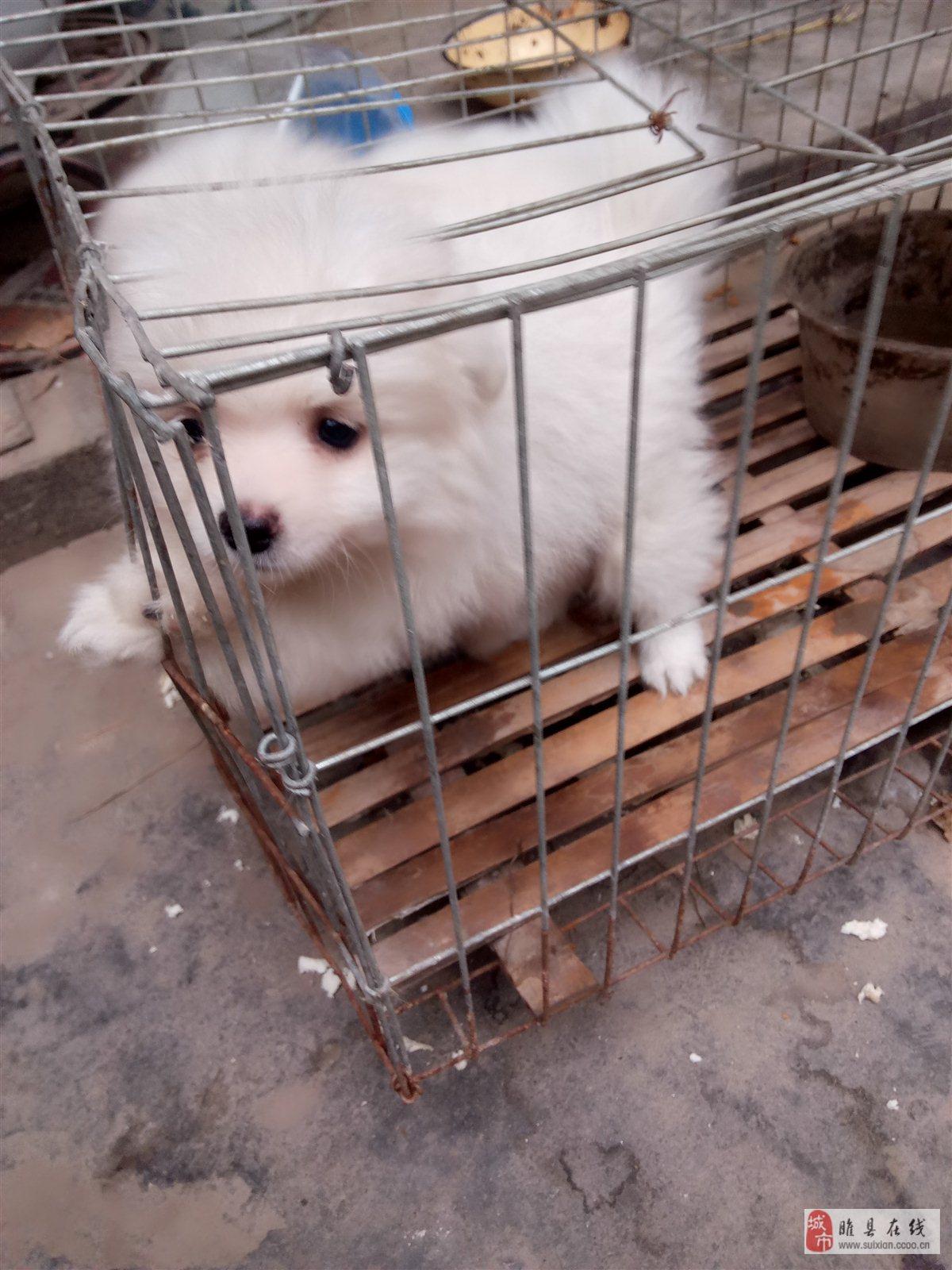 博美寵物狗
