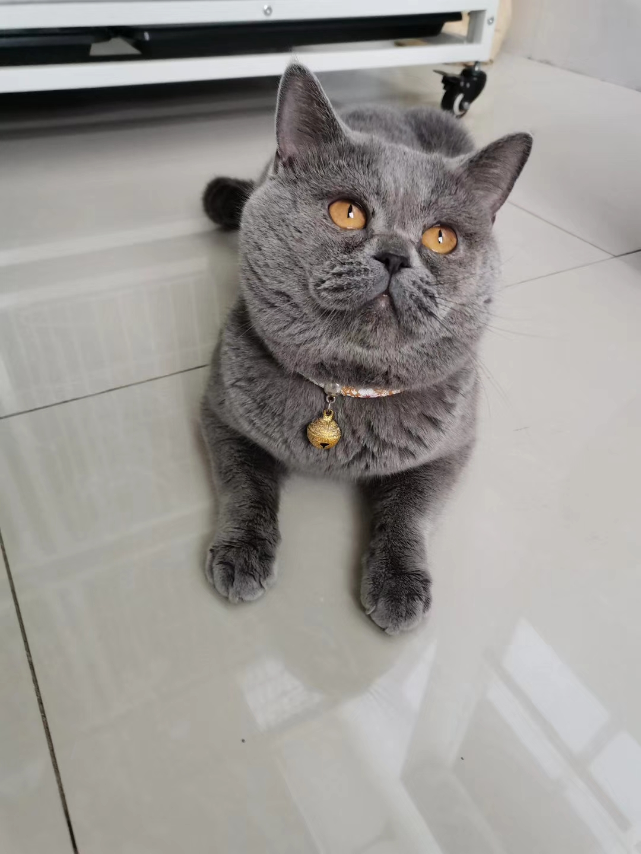 英短藍貓出售