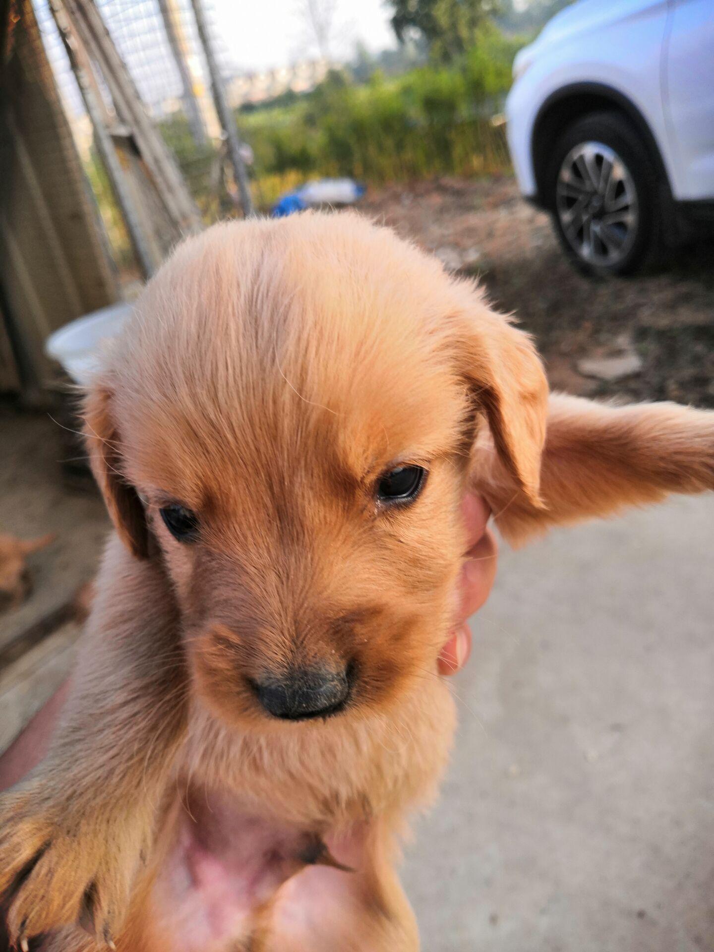 自家金毛幼犬