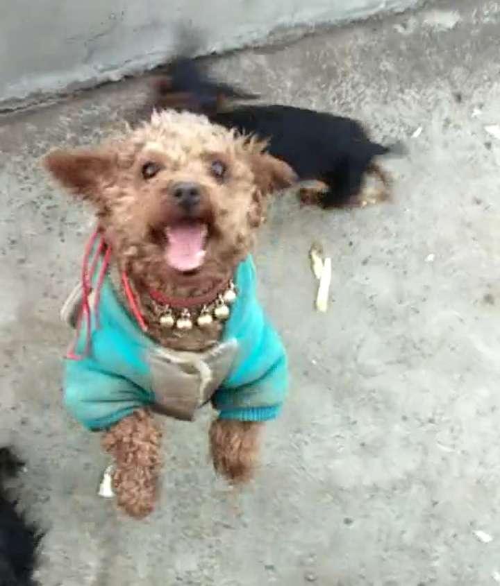一個棕色泰迪公狗和一個黑色小鹿犬公狗