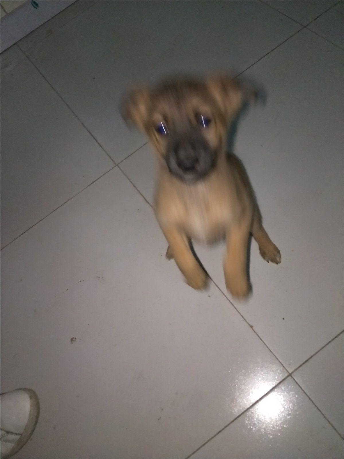 中華田園犬