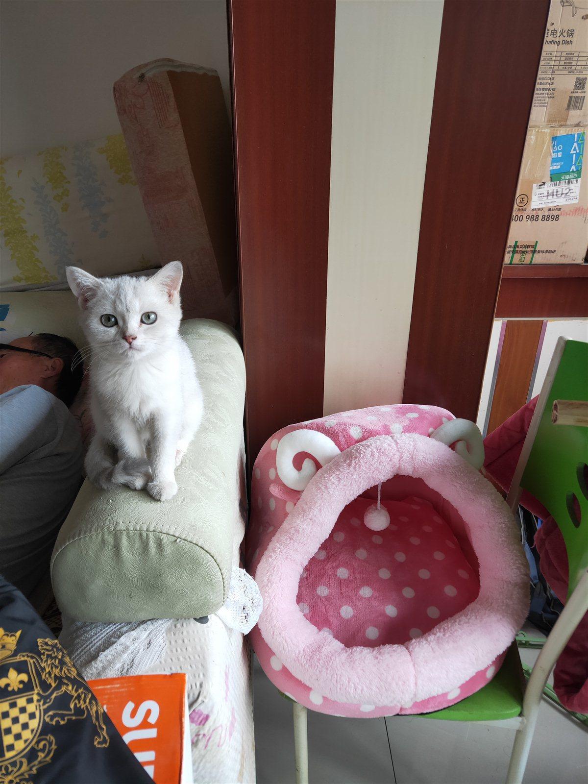 給貓咪找個好人家,云系銀漸層妹妹4-5個