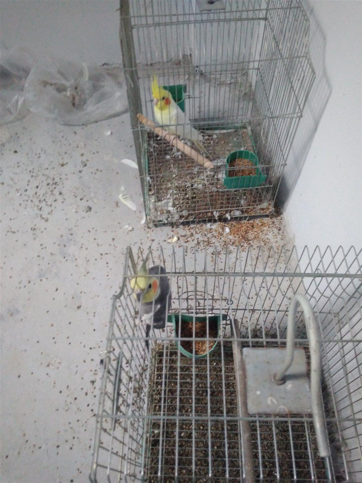 買一只玄鳳鸚鵡送一只