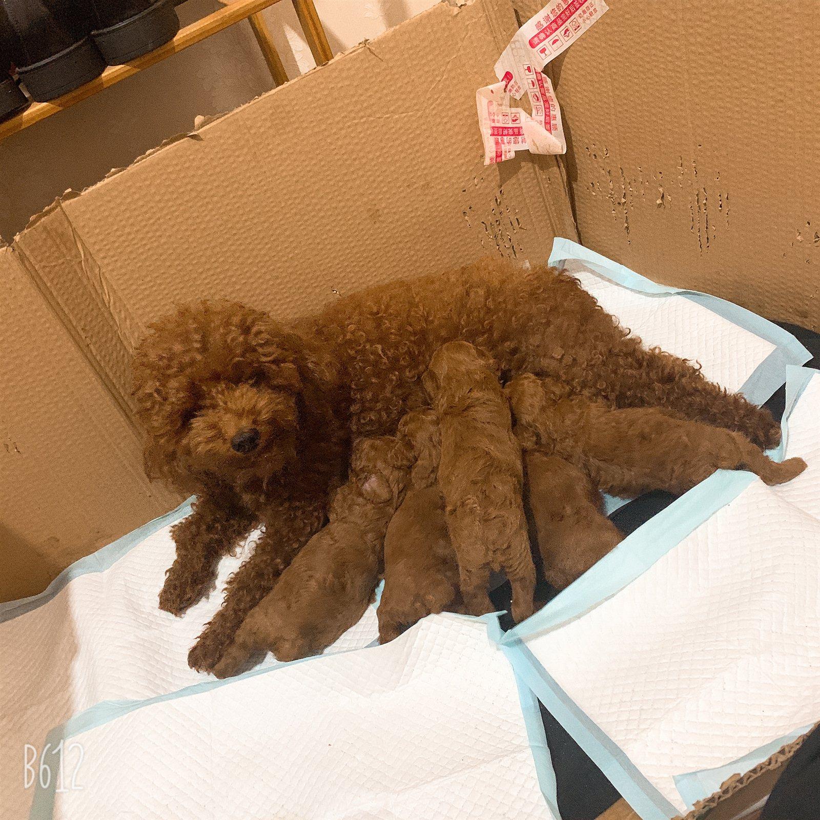 出售紅棕色泰迪寶寶,樂平可上門看狗