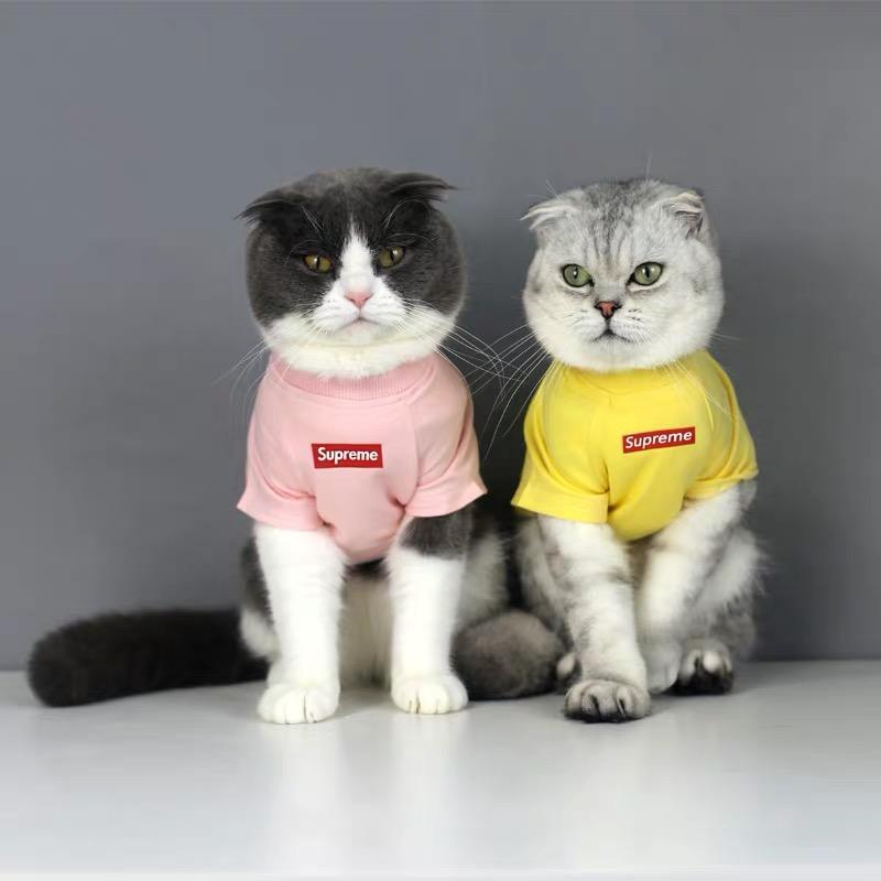 家养美短英短生的小猫,有偿领养