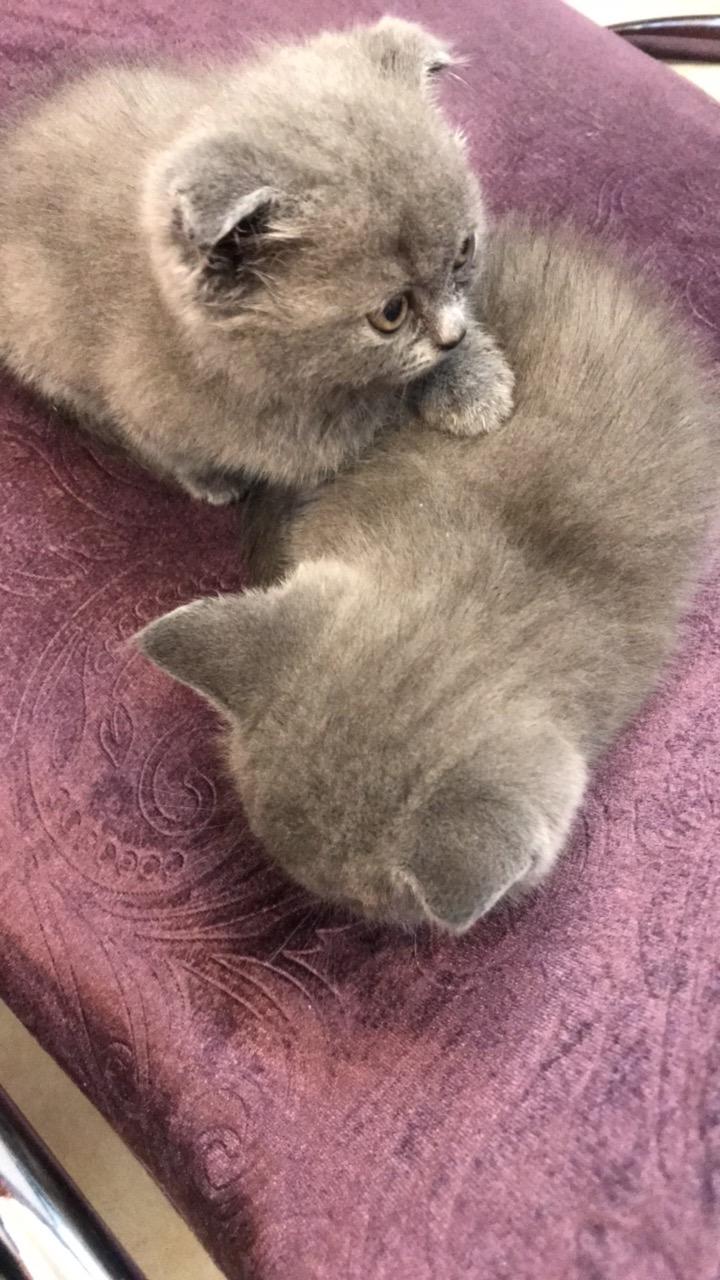 出售英短藍幼貓