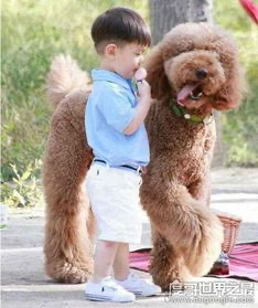 巨型貴賓犬,巨型泰迪