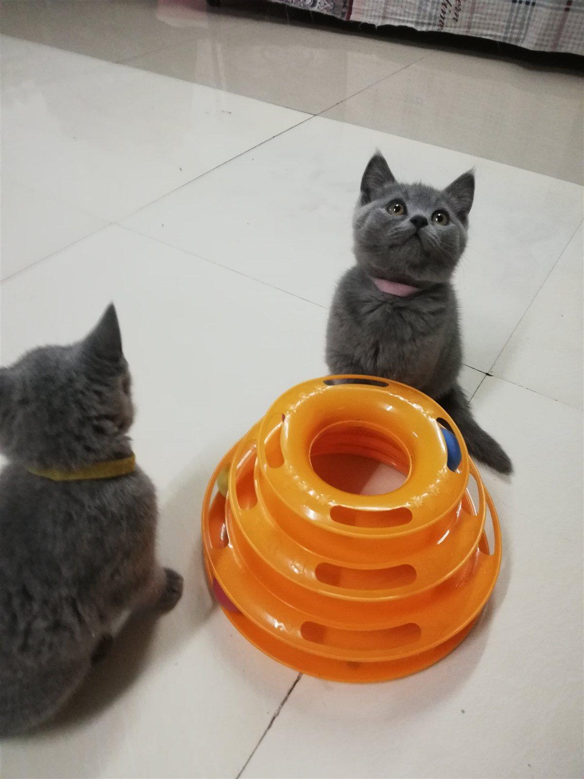 英短藍貓找媽媽