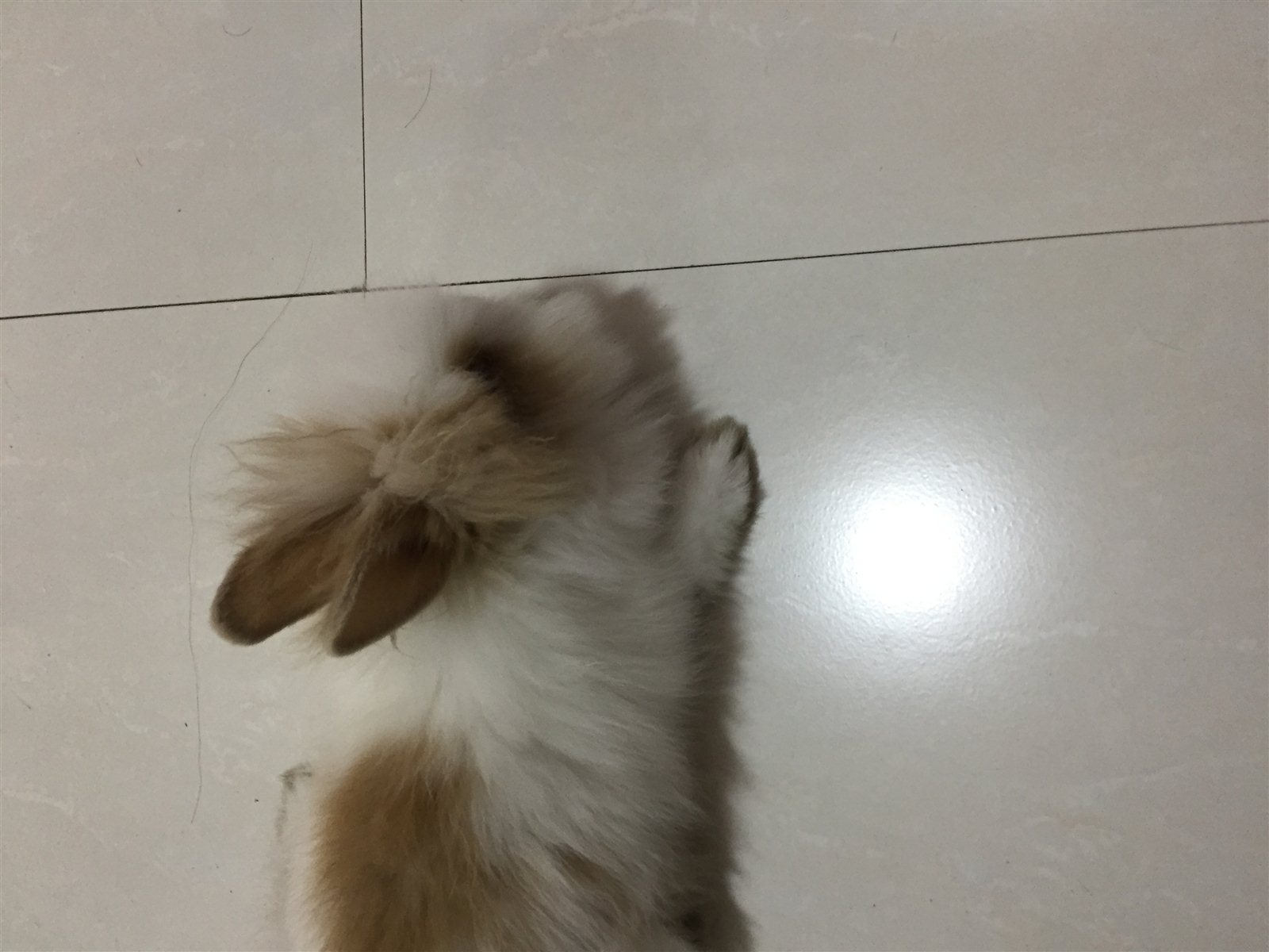 出售猫猫兔