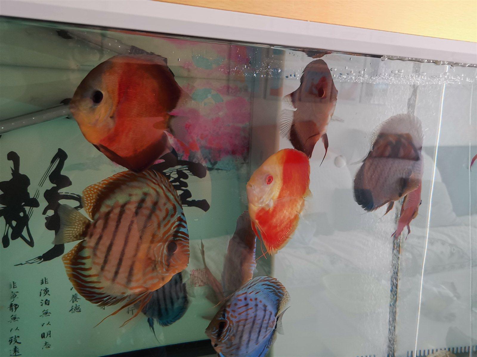 七彩神仙鱼