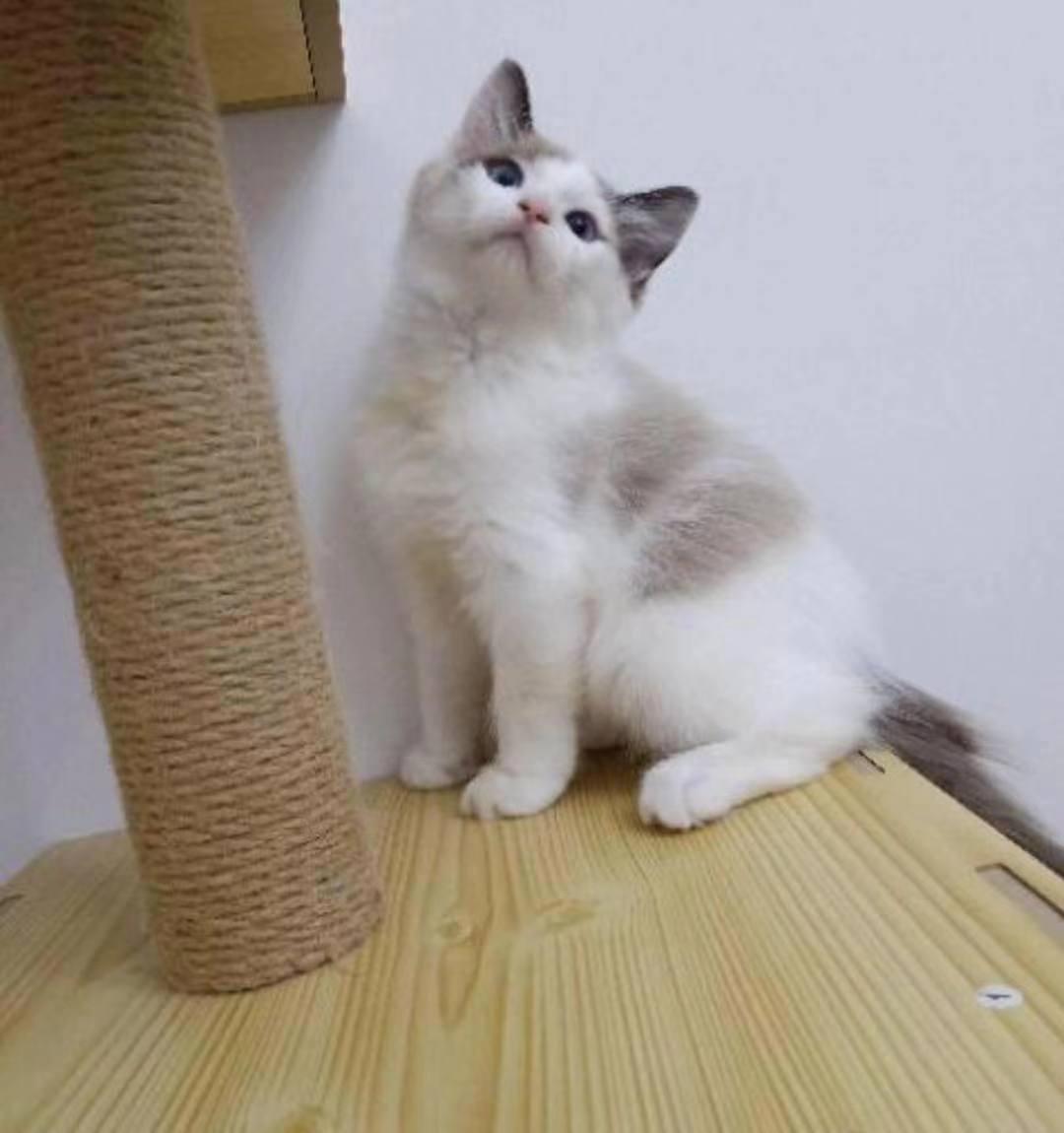 布偶貓出售